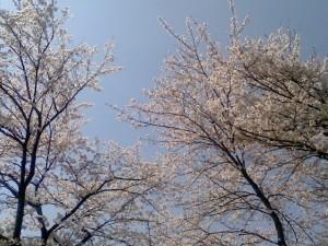 満開の桜!